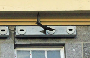 Swift Conservation in Mayo