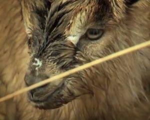 The Old Irish Goat Project
